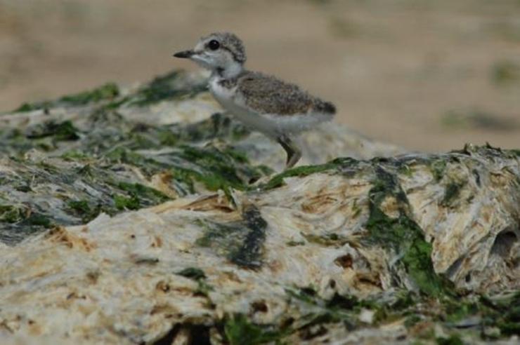 ▲ 갓 부화한 흰물떼새 새끼. 흰물떼새는 제주도 해안사구에 알을 낳는다 (사진 : 강창완)
